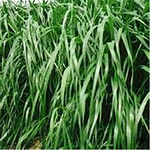 一年生黑麦草种子批发