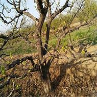 供应各种规格山楂树