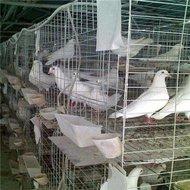 鸽笼鸽具厂家批发价格1鸽子食槽 饮水器 保健沙杯等